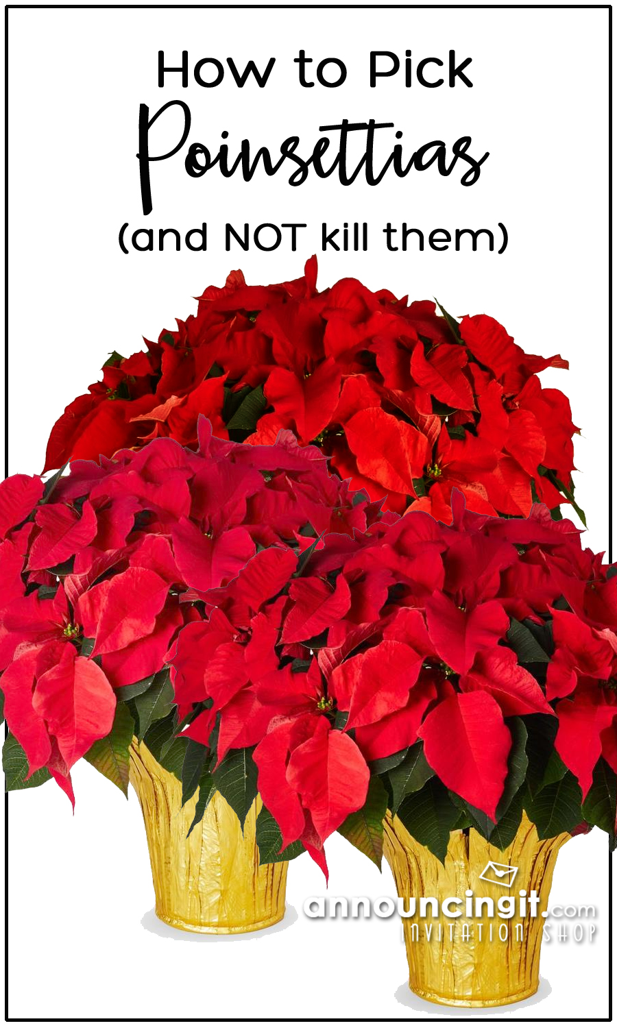 Tips on Shopping for the Perfect Poinsettias for your Holiday Party (and how NOT to kill them!)