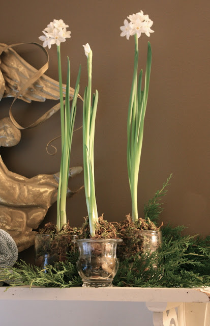 Paperwhites Bloom for the Holidays